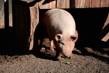 Pig ready to eat in pen, front view