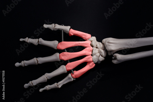 numbered metacarpals of the hand