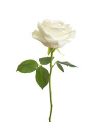 single white rose  isolated  background