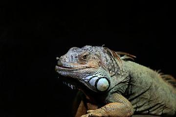 Grüner Leguan, Iguania iguania