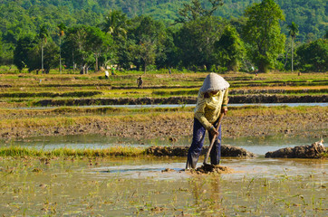 khmer women working on rice field in Mekong delta