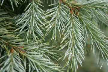 Green pine tree with raindrops