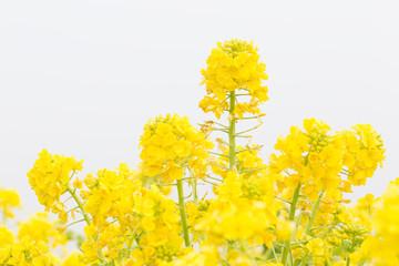 朝霧の中に咲く菜の花
