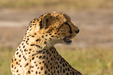 Cheetah sitting and look away