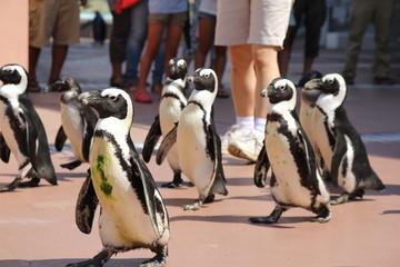 アドベンチャーワールドのペンギンパレード