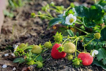 Red strawberries in the garden