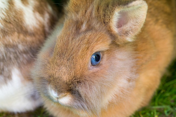 Rabbit closeup