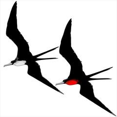 Frigate Birds Male and Female