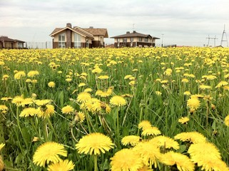 Cottages on the field of dandelions
