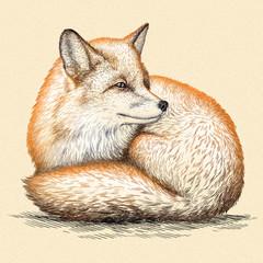 engrave fox illustration