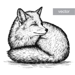 engrave fox illustration
