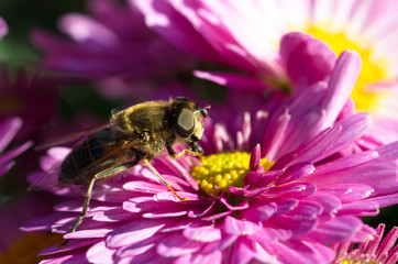 Hoverfly on a pink chrysanthemum