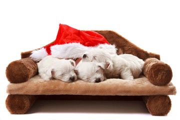 3 west highland white terrier puppies with a christmas hat