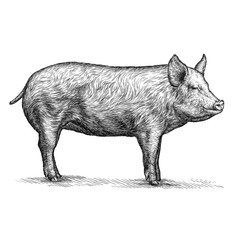 engrave pig illustration