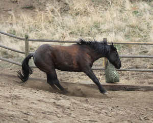 A horse putting on the brakes to slide for his hay net food.