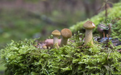 Autumn honey agarics near stump