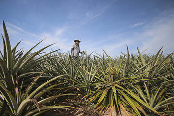 Farmer in pineapple farm