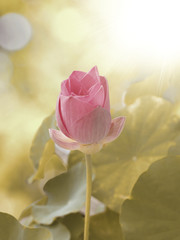 A small lotus is blossoming.  Look like a rose