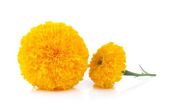 marigold flower on white background