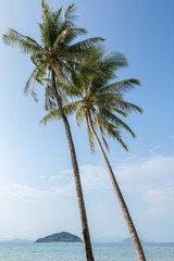 Tall coconut or palm trees on an island