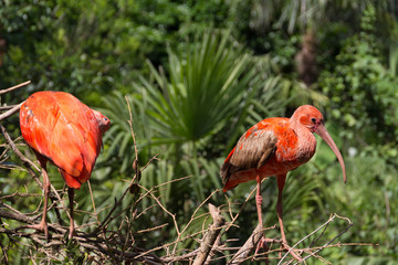 Two scarlet ibis in their habitat