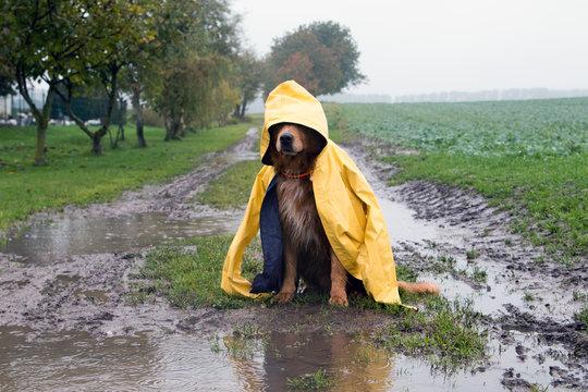 Hund im Regen sitzt in einer Pfütze