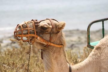 spain, fuerteventura. Dromedary Camel on the beach