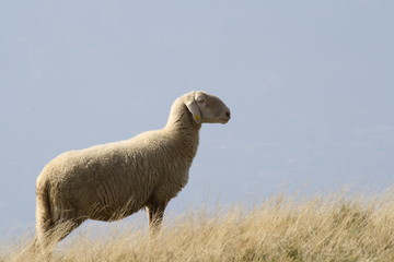 Italy, Garda lake, monte baldo -a sheep
