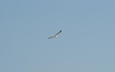 Fliegende Möwe und wolkenloser, blauer Himmel