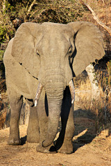 full body shot of an elephant