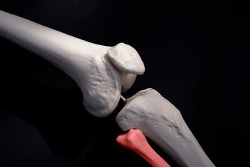 Fibula Bone