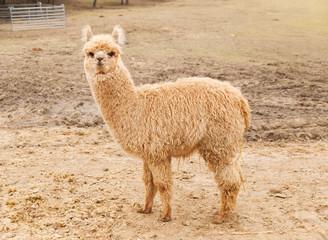 Lama guanaco before shearing