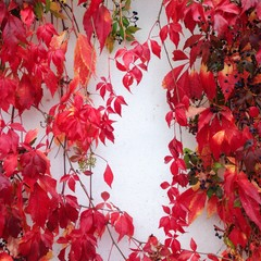 bright red autumn leaves against a white wall