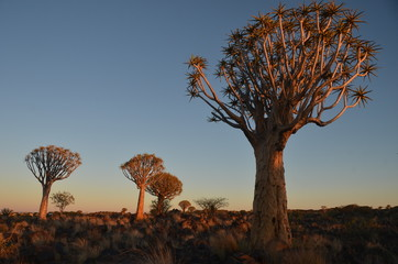 Desert landscape with a quiver tree (Aloe dichotoma), Namibia