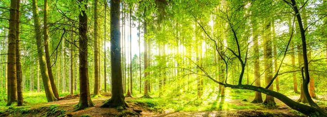Fototapete - Wald Panorama mit Sonnenstrahlen