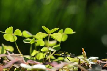 clovers sunbathing