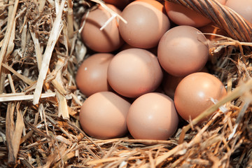 Fresh chicken eggs in hen house