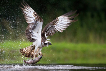 Photo sur Plexiglas Chasse Osprey fishing and hunting on a Scottish loch.
