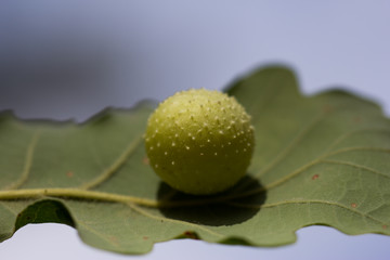 La galle cerise du chêne