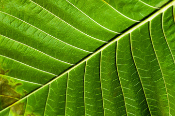Lush green leaf background