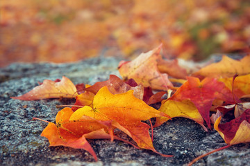 Fallen maple leaves on a rock on an autumn morning