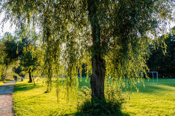 Tree against backlight at sunset on cutted green grass.