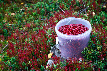 Cranberries in a plastic bucket on the green grass