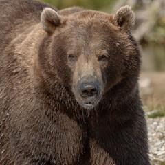 Big brown bear at Katmai Alaska