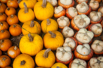 Variety of colorful pumpkins. Background for the autumn season