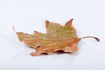 Dry autumn leave
