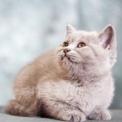 Scottish straight cat. Baby animal portrait
