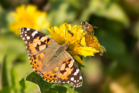 butterfly Vanessa cardui, bee and the fly drink the nectar of yellow flowers