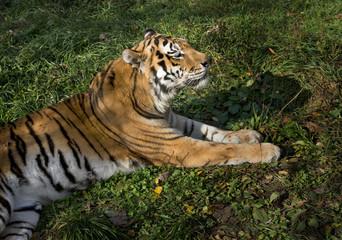 Printed roller blinds Tiger Ussurian tiger