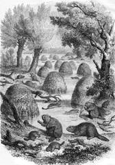 Village of beavers, vintage engraving.